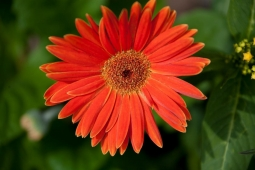 Bright red-orange Gerber daisies are a springtime favorite of Mt Laurel residents.